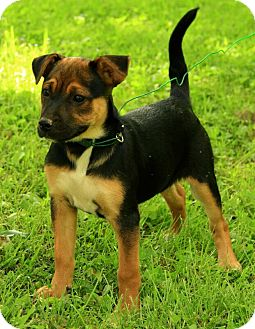 German Shepherd Dog/Jack Russell Terrier Mix Puppy for adoption in Staunton, Virginia - Madison