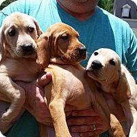 Adopt A Pet :: Lab Trio - Bardonia, NY