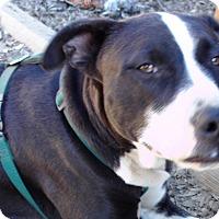 Adopt A Pet :: Bria - Baden, PA