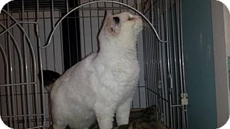 Domestic Shorthair Cat for adoption in Iroquois, Illinois - Suzie