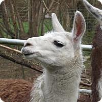 Adopt A Pet :: Judy - Quilcene, WA