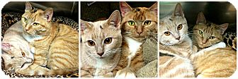 Domestic Shorthair Cat for adoption in Forked River, New Jersey - Bella & Tigress