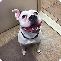 Pit Bull Terrier Mix Dog for adoption in Brooklyn, New York - Emmy