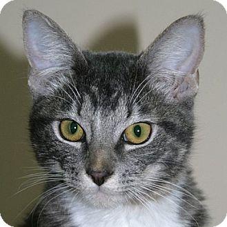 Domestic Shorthair Cat for adoption in Port Angeles, Washington - Fynn