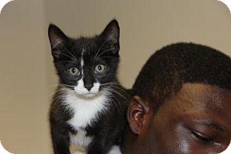 Domestic Shorthair Kitten for adoption in Greensboro, North Carolina - Furry Potter