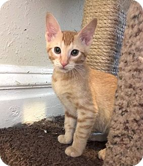 Domestic Shorthair Cat for adoption in St. Louis, Missouri - Hastings