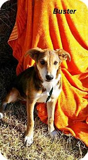 Collie Mix Dog for adoption in Manchester, Connecticut - Buster in CT