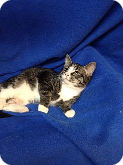 Domestic Shorthair Kitten for adoption in Newport, Kentucky - Jerry
