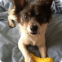 Adopt A Pet :: Maddox - Vancouver, BC