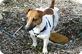 Jack Russell Terrier Dog for adoption in Ridgely, Maryland - Jetson