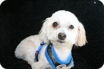 Maltese Dog for adoption in Ft. Bragg, California - Beau
