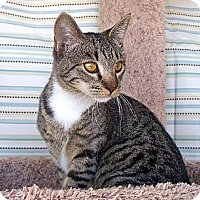 Adopt A Pet :: Sierra - Palmdale, CA