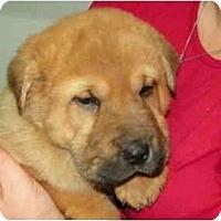Adopt A Pet :: Hudson - Rigaud, QC