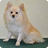 Adopt A Pet :: Benatar - Port Washington, NY