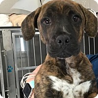 Adopt A Pet :: Isys - Rockville, MD
