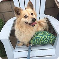 Welsh Corgi Dog for adoption in Newport Beach, California - Ceviche