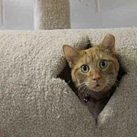 Adopt A Pet :: GINGER - Decatur, IL