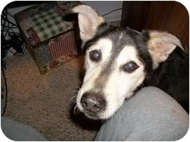 Husky Dog for adoption in Madison, Wisconsin - Thomas