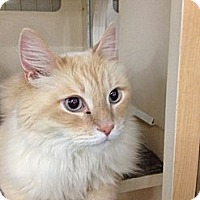 Adopt A Pet :: Sully - Chandler, AZ