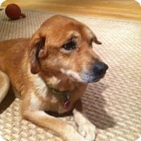 Adopt A Pet :: Tallelah - Danbury, CT
