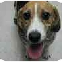 Adopt A Pet :: Belea - Phoenix, AZ