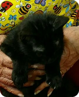 American Shorthair Kitten for adoption in Texarkana, Arkansas - PeeWee