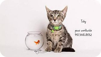 Domestic Shorthair Kitten for adoption in Corona, California - TOBY