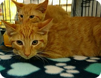 Domestic Shorthair Kitten for adoption in Randolph, New Jersey - Kennedy and Kendra