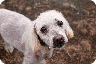 Poodle (Miniature) Mix Dog for adoption in La Verne, California - Murray