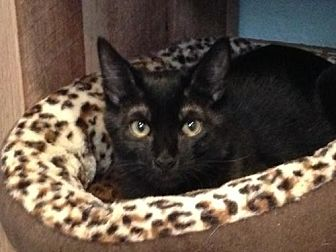 American Shorthair Cat for adoption in Alamogordo, New Mexico - Kingsley