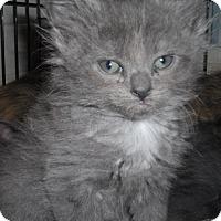 Adopt A Pet :: Moran, beautiful kitten - brewerton, NY