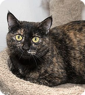 Domestic Shorthair Cat for adoption in Oakland, California - Bubbles