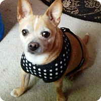 Adopt A Pet :: Pique - Bucks County, PA