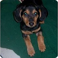 Adopt A Pet :: CHANDLER - Rossford, OH