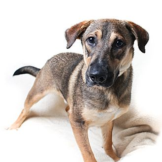 Shepherd (Unknown Type) Mix Dog for adoption in Wilmington, Delaware - Caleb