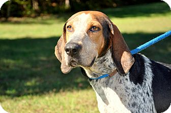 Treeing Walker Coonhound Dog for adoption in Stewart, Tennessee - Wanda