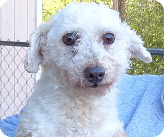 Miniature Poodle Mix Dog for adoption in Crump, Tennessee - Murray