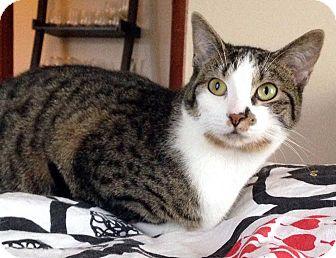 Domestic Shorthair Kitten for adoption in Columbus, Ohio - Sequoia