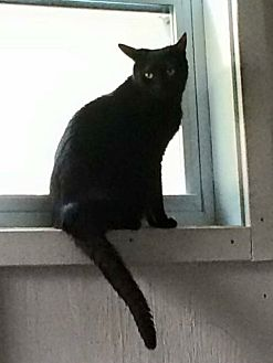 Domestic Shorthair Cat for adoption in Transfer, Pennsylvania - Monday