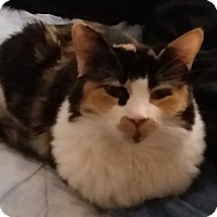Domestic Shorthair Cat for adoption in Whittier, California - Patches