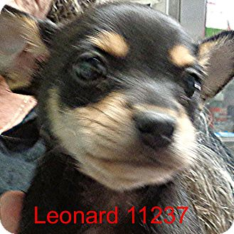 Chihuahua Mix Puppy for adoption in Manassas, Virginia - Leonard