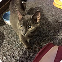Adopt A Pet :: Dingle - Sterling Heights, MI
