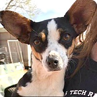 Chihuahua/Dachshund Mix Dog for adoption in Boulder, Colorado - Jazzy