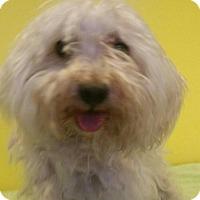 Adopt A Pet :: Doodle - Richland Hills, TX