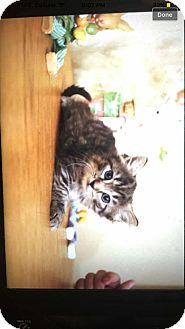 Domestic Shorthair Kitten for adoption in Atlantic, North Carolina - Lilly