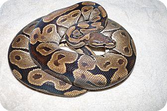 Snake for adoption in Richmond, British Columbia - Celeste