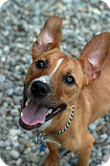 Labrador Retriever Mix Puppy for adoption in Tinton Falls, New Jersey - Mickey