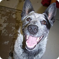 Cattle Dog Dog for adoption in Logan, Utah - Smokey