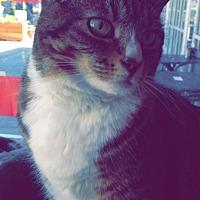 Domestic Shorthair Cat for adoption in Eugene, Oregon - Skippito