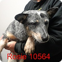 Adopt A Pet :: Rosie - baltimore, MD